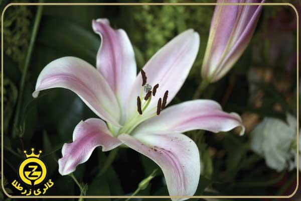 گل سوسن